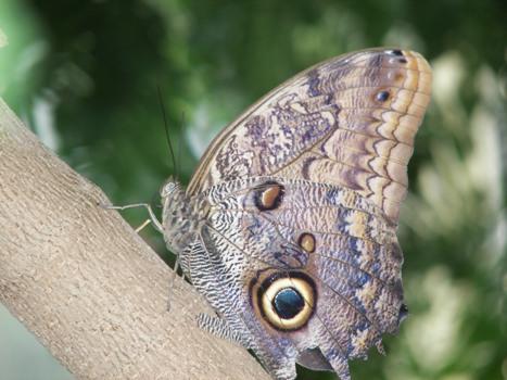 Owl Butterfly in a tree