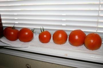 Tim's Tomatoes Summer 2012