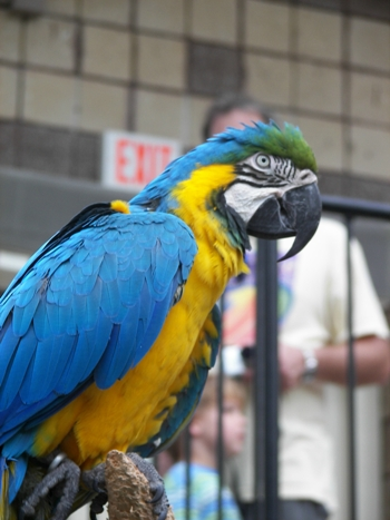 Blue & Gold Macaw at the Butterfly Conservatory